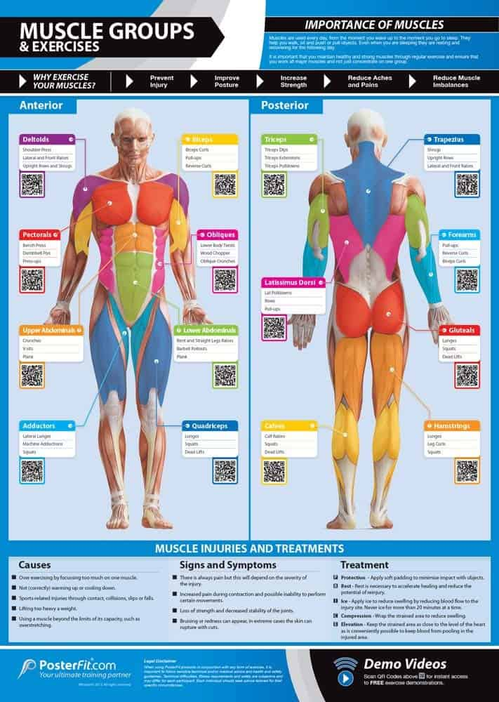muscle groups gym poster